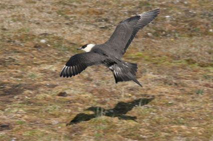 Skua in flight