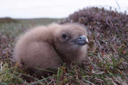 Young Skua chick in the nest